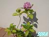 西洋紫陽花 美少女 15cmポット
