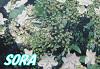 紫陽花 隅田の花火 15cmポット